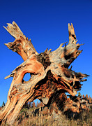 Tree Roots Photo Metal Prints - Fallen Metal Print by Shane Bechler