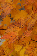 Linda Knorr Shafer - Falling Leaves