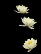 White Water Lily Art - Falling Stars by Rebecca Cozart