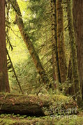 Falling Trees In The Rainforest Print by Carol Groenen