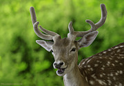 LeeAnn McLaneGoetz McLaneGoetzStudioLLCcom - Fallow Deer AKA Dama dama