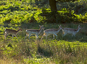 Dama Posters - Fallow Deer at Dawn Poster by Louise Heusinkveld