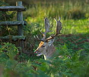 Dama Posters - Fallow deer buck in rutting season Poster by Louise Heusinkveld
