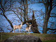 Christopher Fridley - Fallow Deer