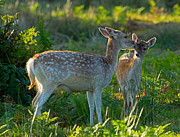 Dama Posters - Fallow deer doe with fawn Poster by Louise Heusinkveld