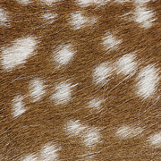 Steven Ralser - fallow deer fur