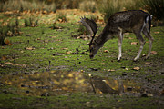 Conditions Posters - Fallow Deer reflection Poster by Ruben Vicente