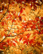 Red And Gold Leaves Framed Prints - Falls Leaves Framed Print by Sonja Quintero