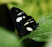 Marilyn Hunt - False Zebra Longwing Butterfly
