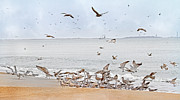Flying Seagulls Framed Prints - Family Flock  Framed Print by Betsy A Cutler East Coast Barrier Islands