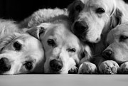 Family Golde Retriever Print by Angel Sosa