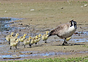 Canada Goose Art - Family Outing by Randy Hall