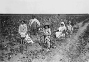 Cotton Fields Posters - Family Picking Cotton Poster by Underwood Archives