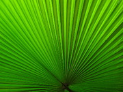 Ranjini Kandasamy - Fan Palm