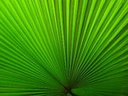 Ranjini Kandasamy - Fan Palm