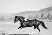 Paso Fino Horse Photos - Fancy Black and White by Jenn La Mana