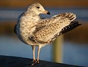 Fancy Sea Gull Print by Paulette  Thomas