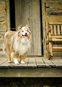 Log Home Posters - Farm Dog Poster by Heather Applegate