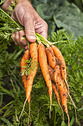 Verena Matthew - Farm fresh Carrots