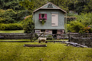 Suburbia Posters - Farm House And Babydoll Sheep Poster by Susan Candelario