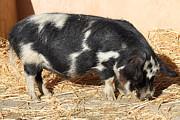 Wingsdomain Art and Photography - Farm Pig 7D27356