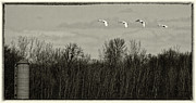 Flying Swan Photos - Farmland Migration by Thomas Young