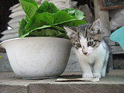 Farmstand Metal Prints - Farmstand kitten Metal Print by Kim Kornbacher