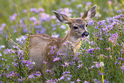 Sonya Lang - Fawn in Asters
