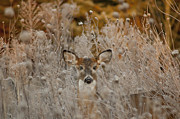 White-tail Deer Prints - Fawn in the Frosty Grass Print by Wilma  Birdwell