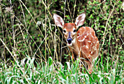 Marty Koch Photo Acrylic Prints - Fawn In The Grass Acrylic Print by Marty Koch
