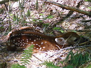 New England. Pyrography Prints - Fawn n the Woods Print by Susan Russo