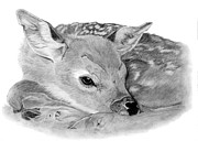 Resting Drawings - Fawn by Sarah Dowson