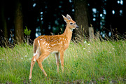 Fawn Photos - Fawn by Shane Holsclaw