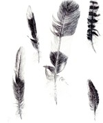 Featured Drawings - Feather study by Jude Rose Ickes