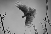 Cockatoos Prints - Feathered Flight  Print by Douglas Barnard