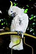 White Cockatoo Posters - Feathered Friend Poster by Christi Kraft