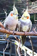 Pet Cockatoo Photos - Feathered Friends by Lynnette Johns