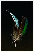 Feathers Pastels Prints - Feathers of Time Print by Darryl Gibbs