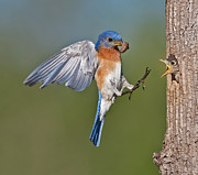Eastern Bluebird Prints - Feed me Daddy Print by Susan Candelario