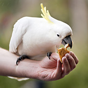 Pet Cockatoo Photos - Feeding Birds by Tim Hester