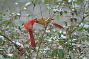 Geraldine DeBoer - Feeding Cardinals