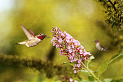 Butterfly In Flight Prints - Feeding Hummer Print by Darren Fisher