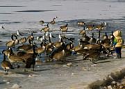 Feeding The Geese Print by Matt Radcliffe