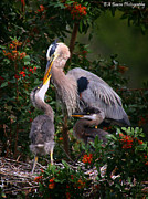 Florida Prints - Feeding time Print by Barbara Bowen