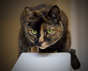 Intensity Posters - Feline Intensity Poster by Karma Boyer