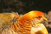 Adam Jewell - Femail Golden Pheasant