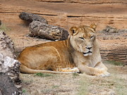 Cathy Lindsey - Female African Lion