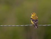 Female American Goldfinch Print by Douglas Stucky