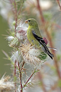 Jim Nelson - Female American Goldfinch