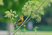 Female Pyrography Posters - Female American Goldfinch Poster by Rebecca Brooks